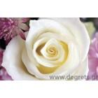 φωτογραφία Ταπετσαρία τοίχου Λευκό τριαντάφυλλο