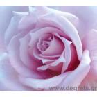 φωτογραφία Ταπετσαρία τοίχου τριαντάφυλλο Λιλά