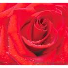 φωτογραφία Ταπετσαρία τοίχου Κόκκινο τριαντάφυλλο