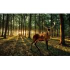 Φωτοταπετσαρία Ελάφι στο δάσος - Ηλιοβασίλεμα L