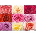 φωτογραφία Ταπετσαρία τοίχου Τριαντάφυλλα colorati
